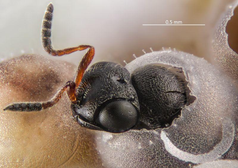 Lotta biologica alla cimice asiatica: in Piemonte effettuato il rilascio della vespa samurai in 100 siti