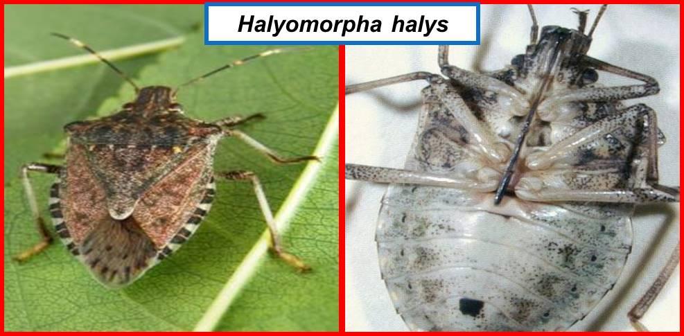 Halyomorpha NO SPINA ADDOME