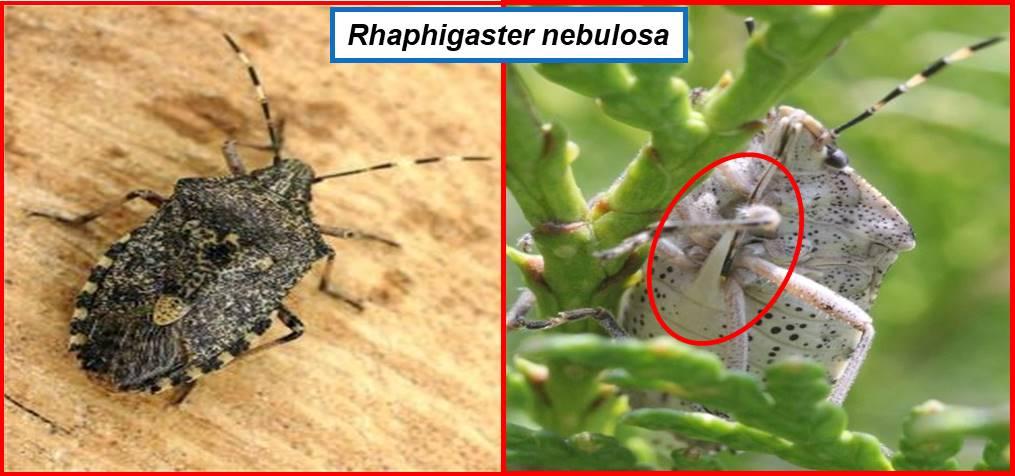 Raphigaster spina addome